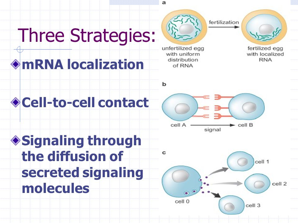 Three Strategies: mRNA localization Cell-to-cell contact