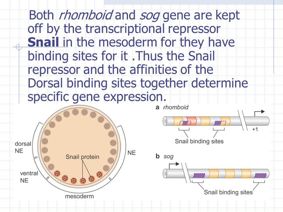 Both rhomboid and sog gene are kept off by the transcriptional repressor Snail in the mesoderm for they have binding sites for it .Thus the Snail repressor and the affinities of the Dorsal binding sites together determine specific gene expression.