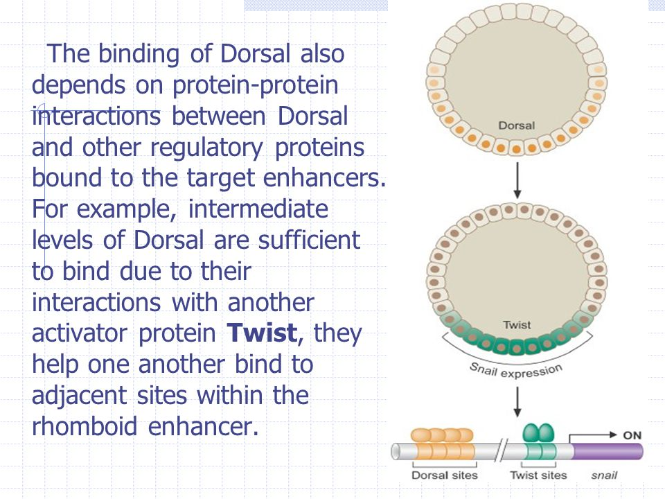 The binding of Dorsal also depends on protein-protein interactions between Dorsal and other regulatory proteins bound to the target enhancers.