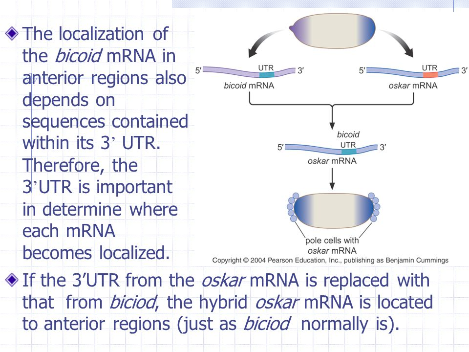 The localization of the bicoid mRNA in anterior regions also depends on sequences contained within its 3' UTR. Therefore, the 3'UTR is important in determine where each mRNA becomes localized.
