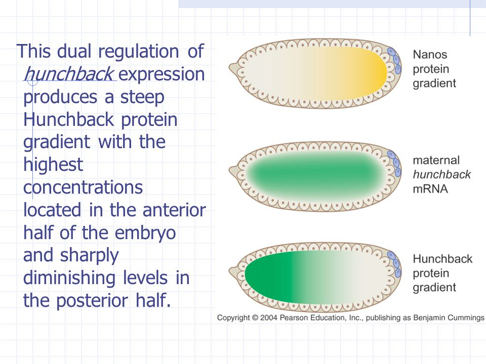 This dual regulation of hunchback expression produces a steep Hunchback protein gradient with the highest concentrations located in the anterior half of the embryo and sharply diminishing levels in the posterior half.