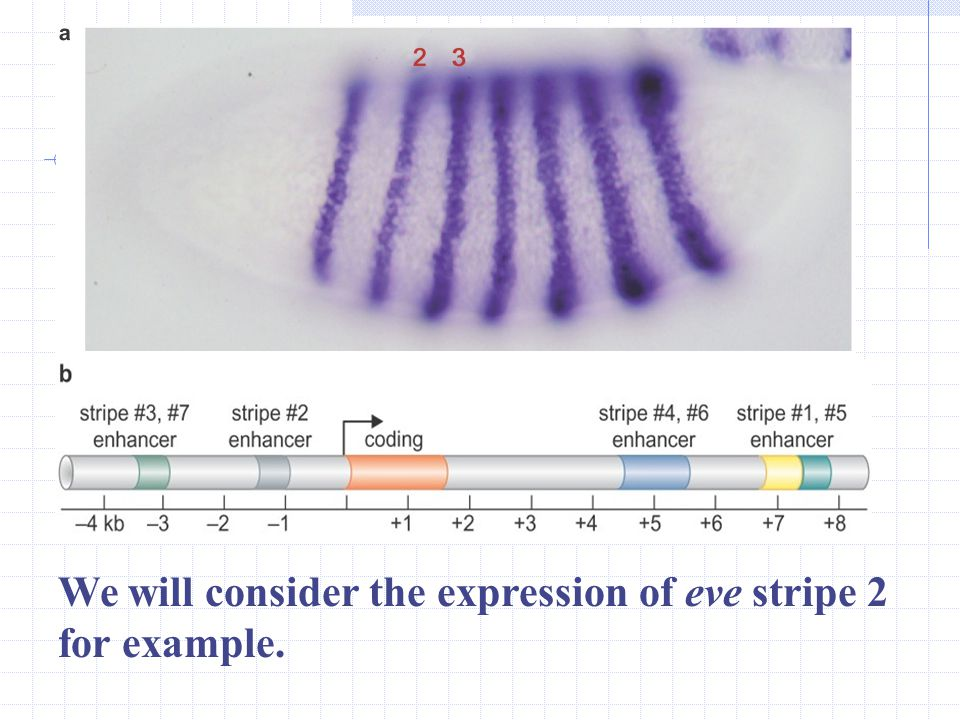 We will consider the expression of eve stripe 2 for example.
