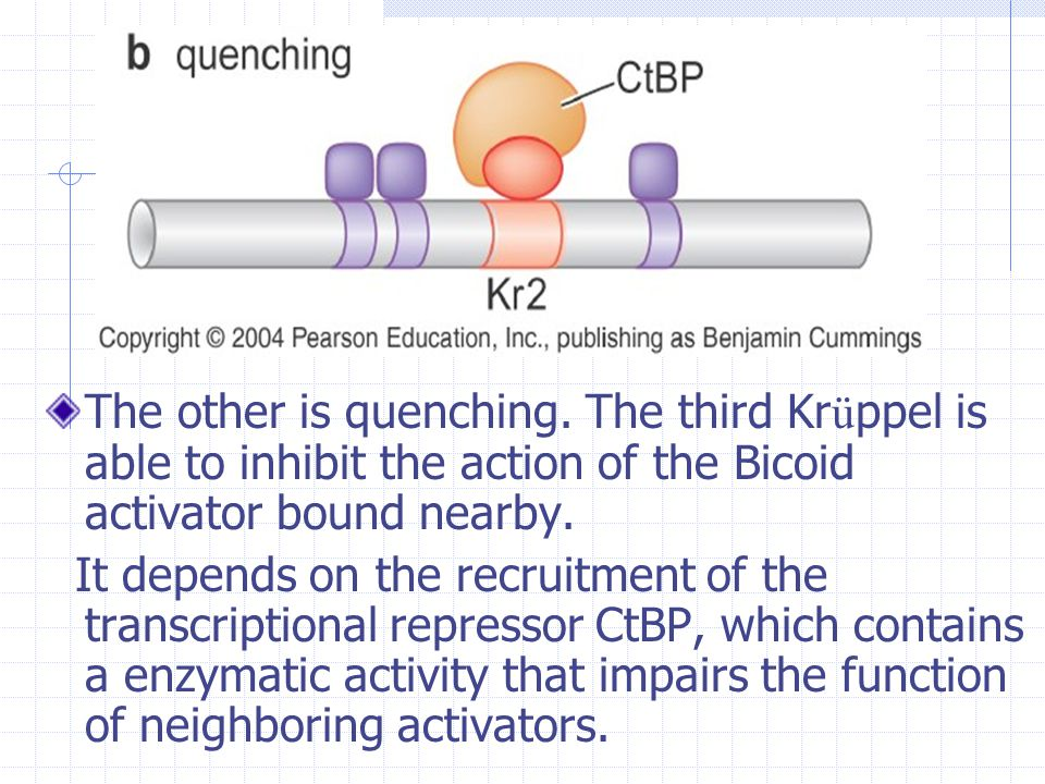 The other is quenching. The third Krüppel is able to inhibit the action of the Bicoid activator bound nearby.