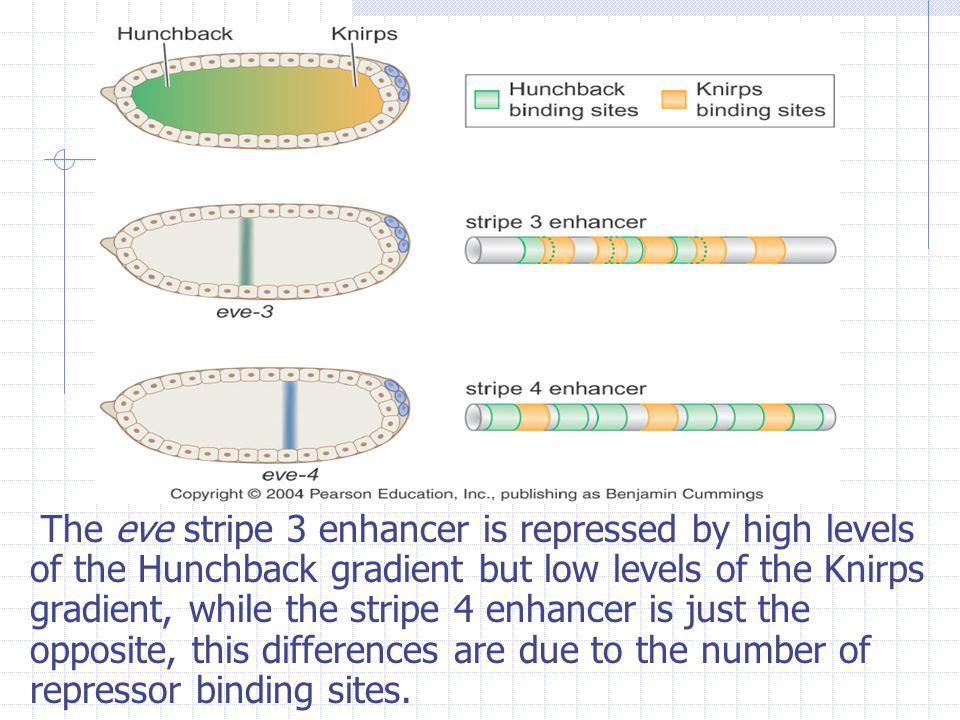 The eve stripe 3 enhancer is repressed by high levels of the Hunchback gradient but low levels of the Knirps gradient, while the stripe 4 enhancer is just the opposite, this differences are due to the number of repressor binding sites.