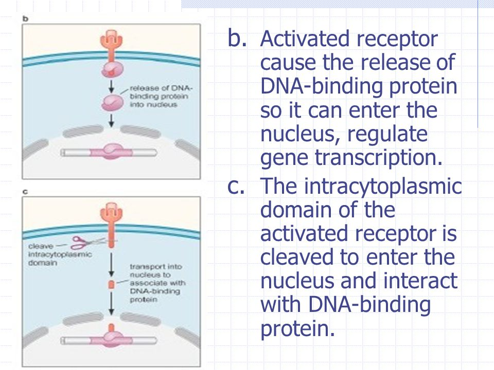 Activated receptor cause the release of DNA-binding protein so it can enter the nucleus, regulate gene transcription.