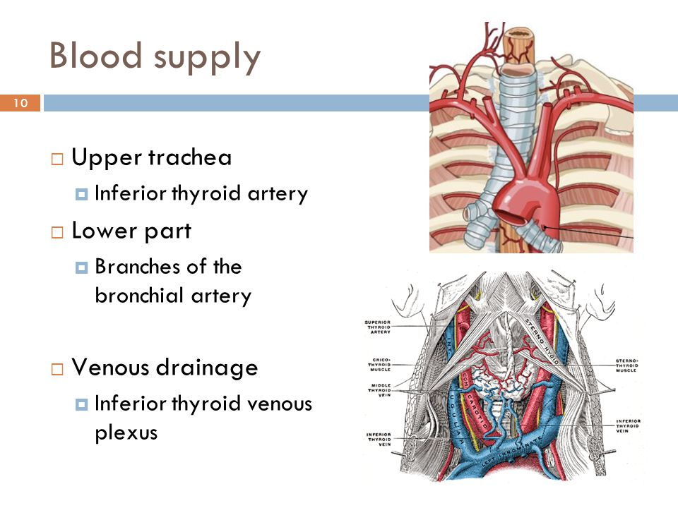 Blood supply Upper trachea Lower part Venous drainage