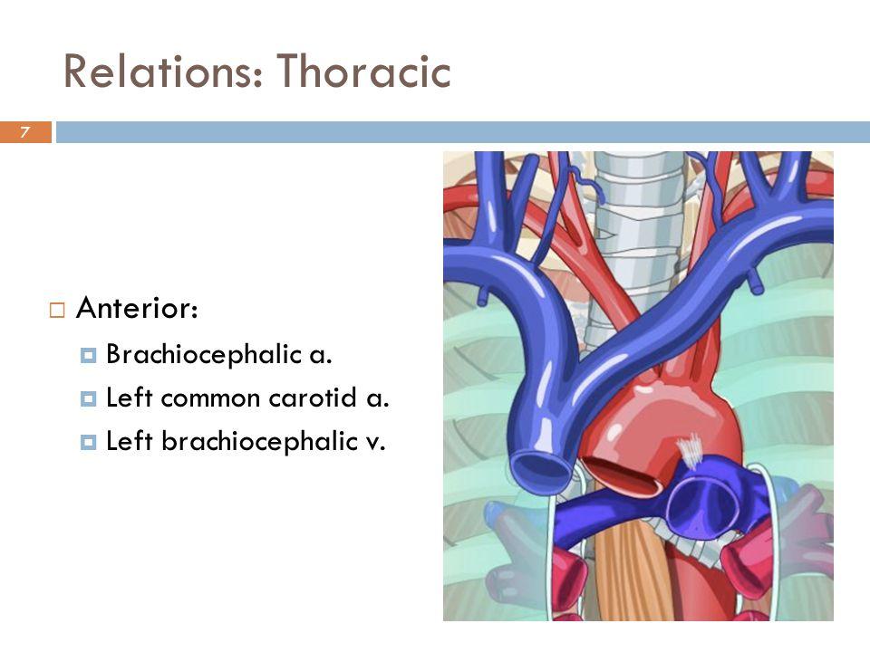 Relations: Thoracic Anterior: Brachiocephalic a.