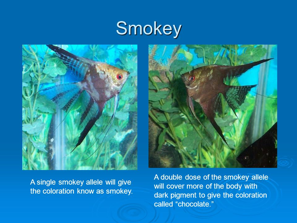 Smokey A double dose of the smokey allele will cover more of the body with dark pigment to give the coloration called chocolate.