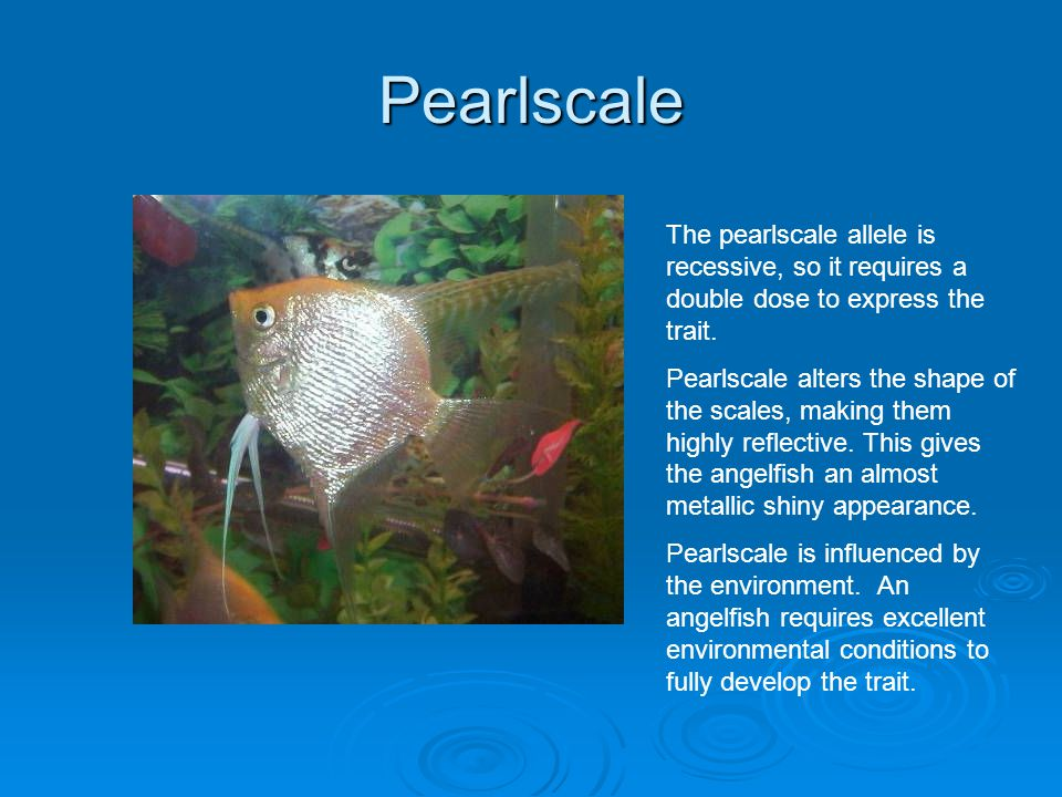 Pearlscale The pearlscale allele is recessive, so it requires a double dose to express the trait.