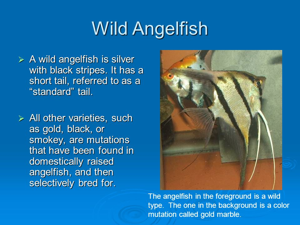 Wild Angelfish A wild angelfish is silver with black stripes. It has a short tail, referred to as a standard tail.