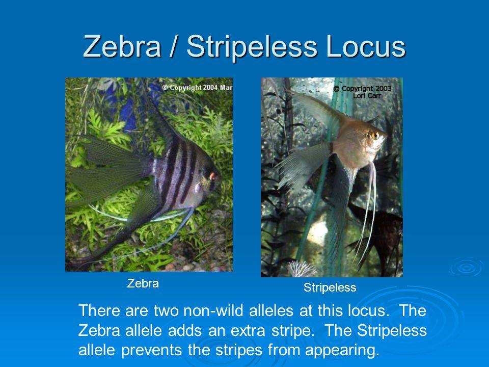 Zebra / Stripeless Locus