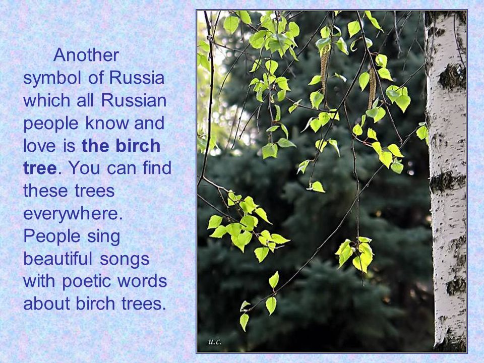 Another symbol of Russia which all Russian people know and love is the birch tree.