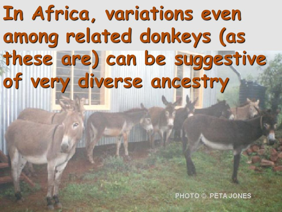 In Africa, variations even among related donkeys (as these are) can be suggestive of very diverse ancestry
