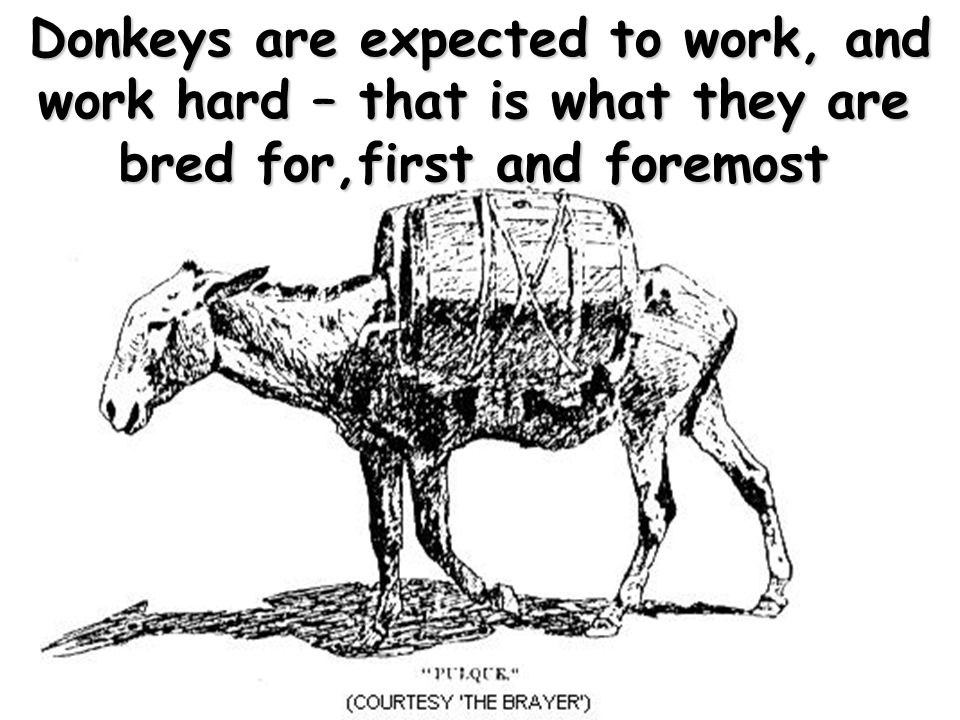 Donkeys are expected to work, and work hard – that is what they are bred for,first and foremost