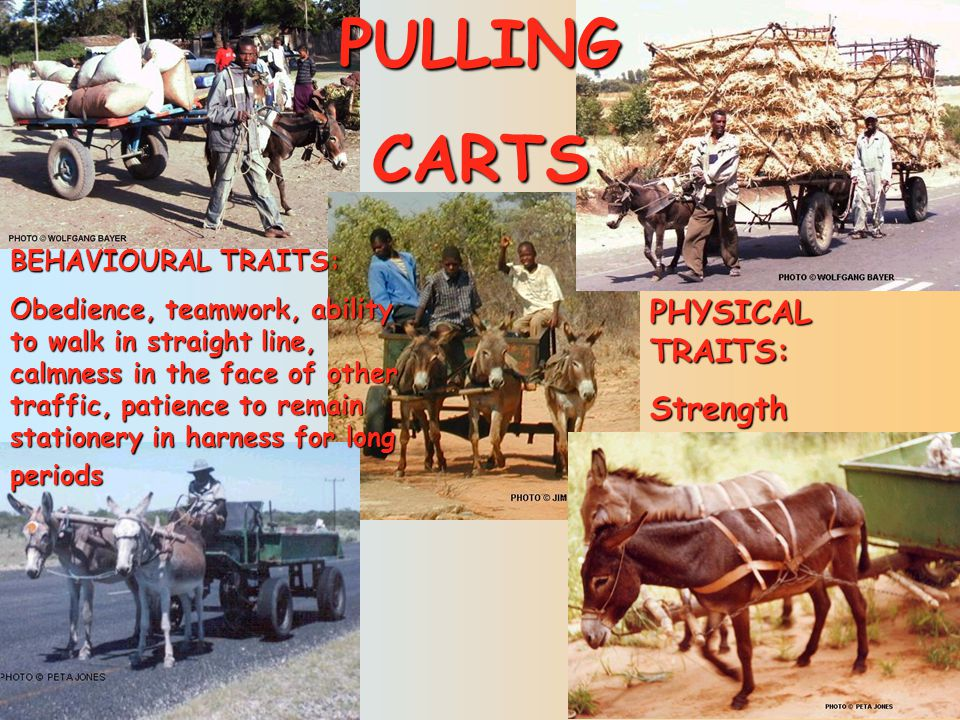PULLING CARTS PHYSICAL TRAITS: Strength BEHAVIOURAL TRAITS: