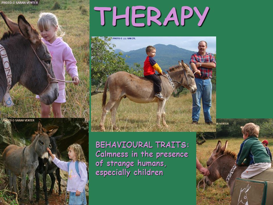 THERAPY BEHAVIOURAL TRAITS: Calmness in the presence of strange humans, especially children