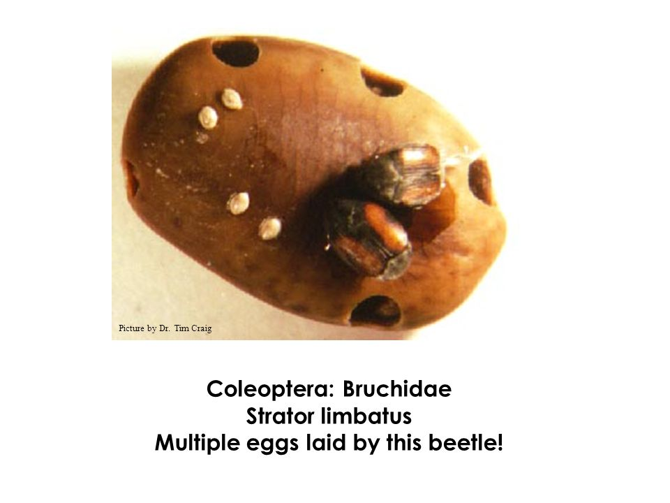 Coleoptera: Bruchidae Multiple eggs laid by this beetle!