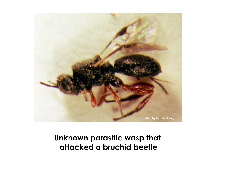 Unknown parasitic wasp that attacked a bruchid beetle