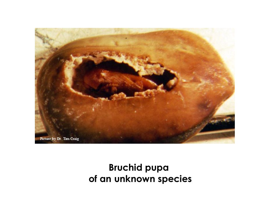 Bruchid pupa of an unknown species