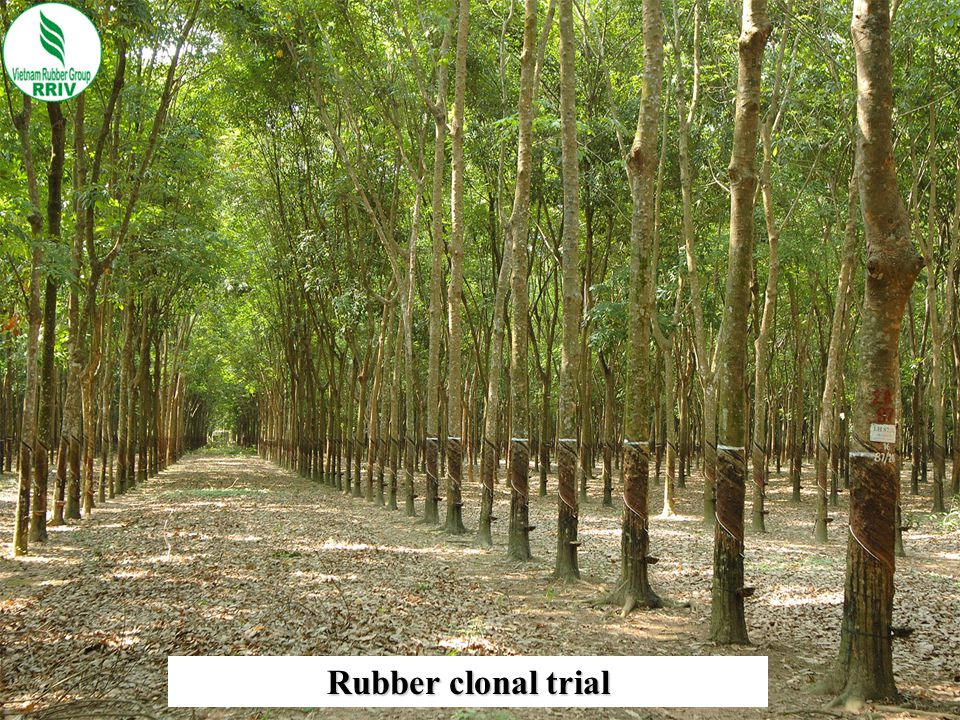 Rubber clonal trial 10