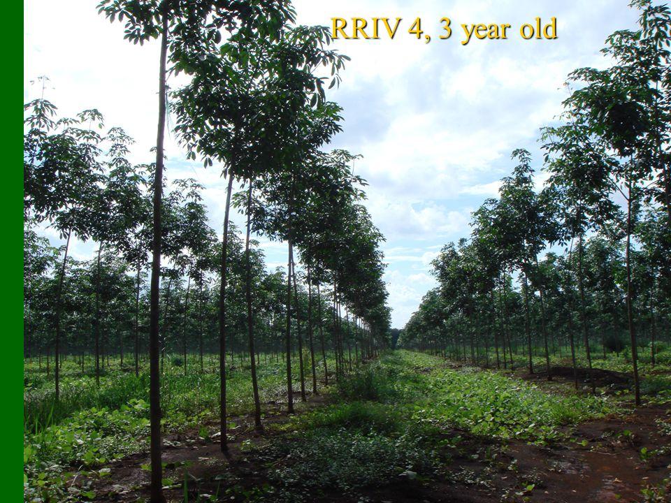 RRIV 4, 3 year old