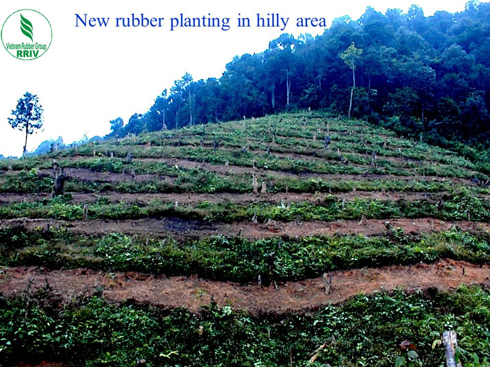 New rubber planting in hilly area