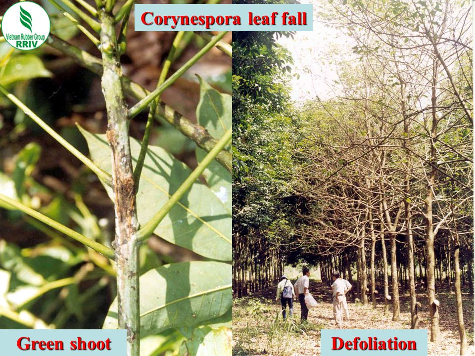 Corynespora leaf fall Green shoot Defoliation