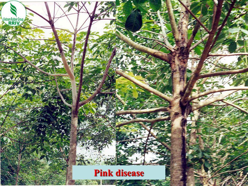 Pink disease