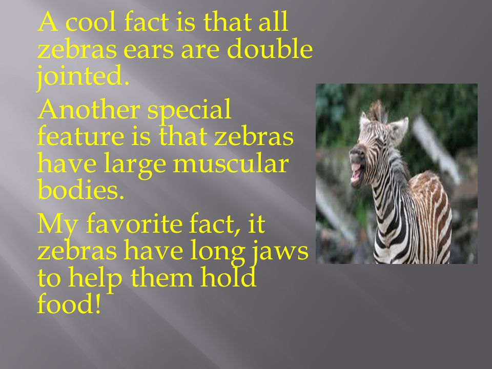 A cool fact is that all zebras ears are double jointed