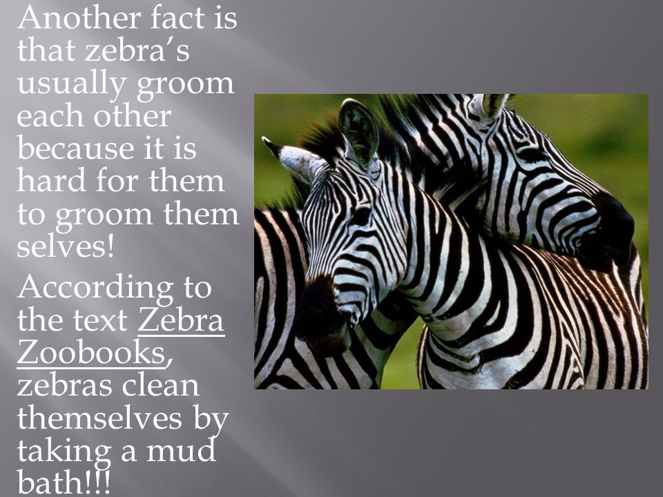 Another fact is that zebra's usually groom each other because it is hard for them to groom them selves.