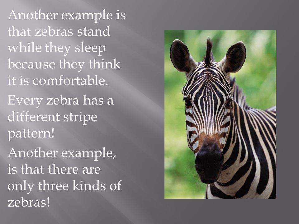 Another example is that zebras stand while they sleep because they think it is comfortable.