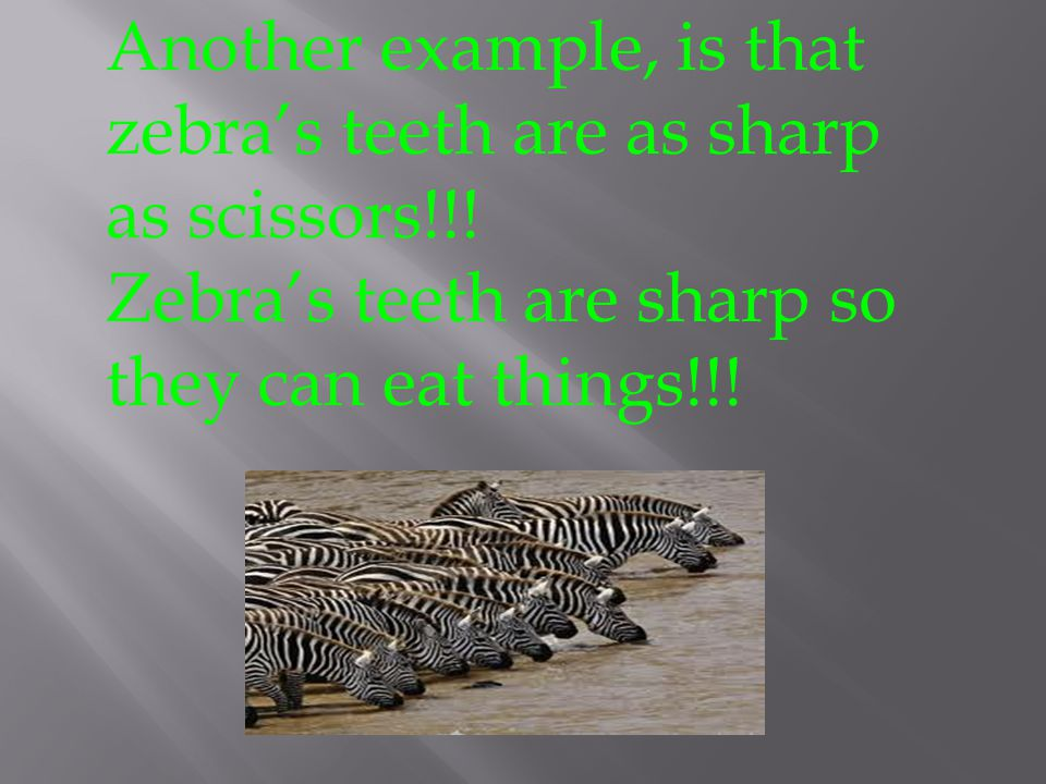 Another example, is that zebra's teeth are as sharp as scissors!!!