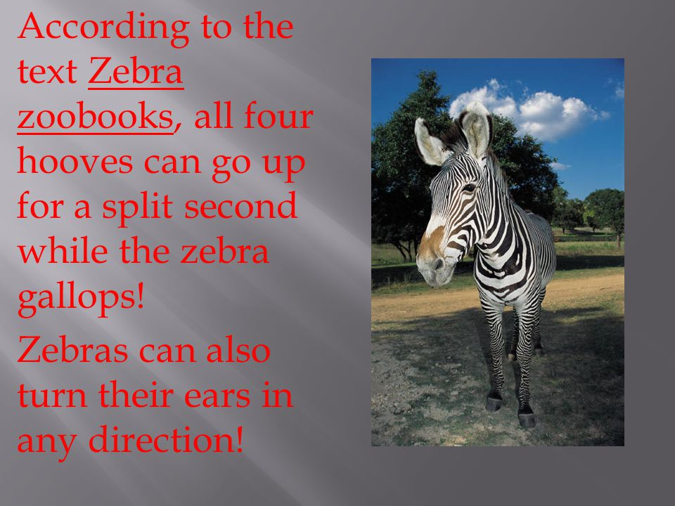 According to the text Zebra zoobooks, all four hooves can go up for a split second while the zebra gallops.
