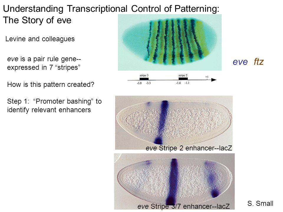 Understanding Transcriptional Control of Patterning: The Story of eve