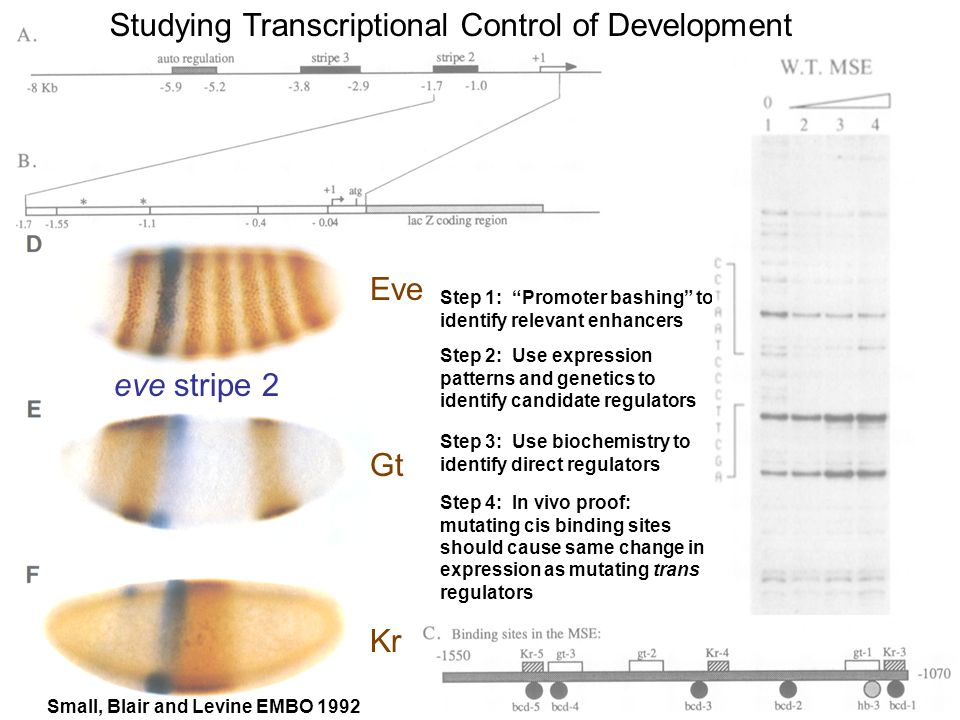 Studying Transcriptional Control of Development