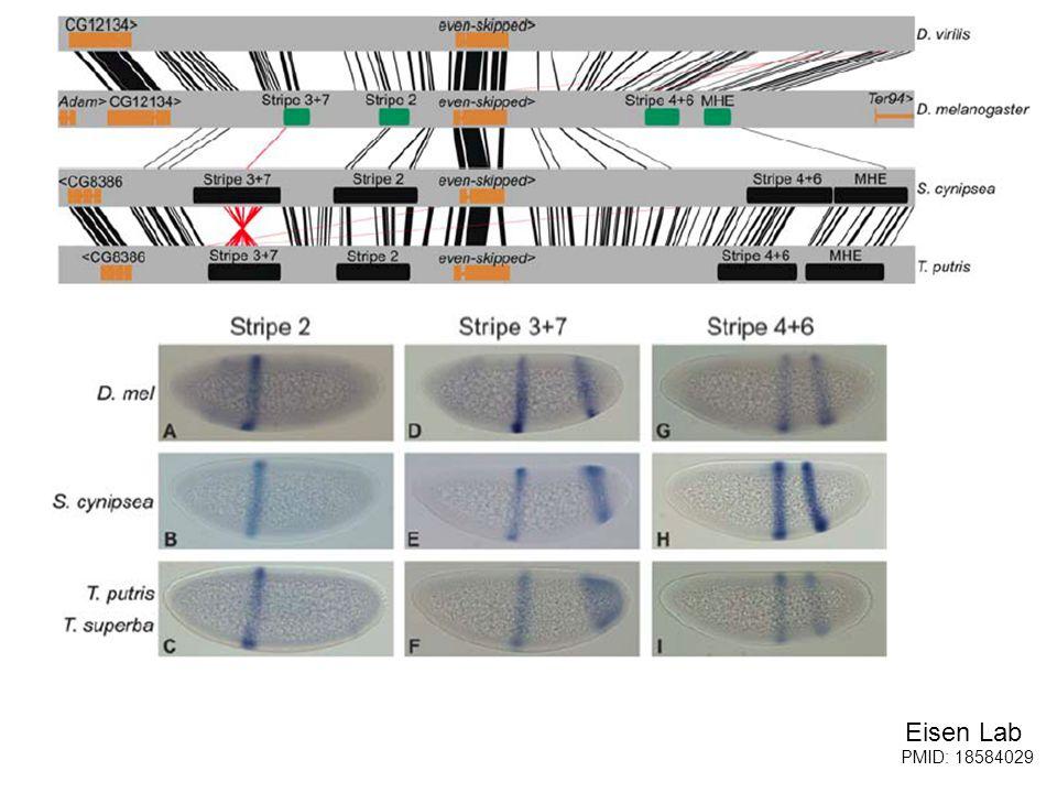 Eisen Lab But, the Sepsidae enhancers work in Drosophila