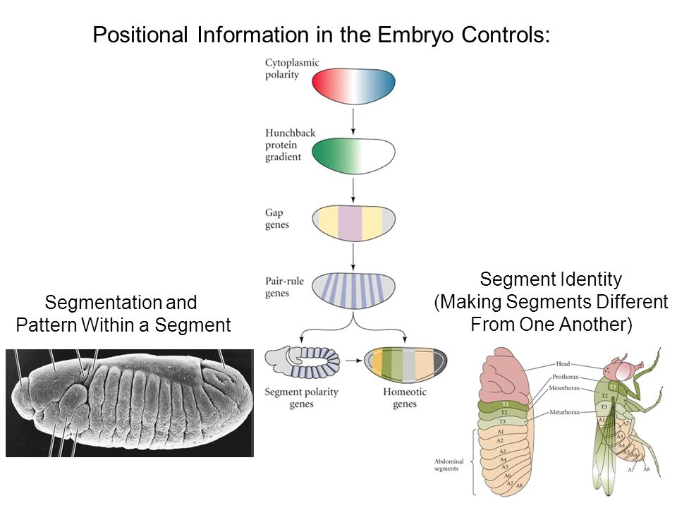 Positional Information in the Embryo Controls: