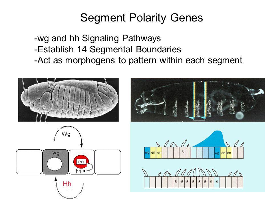 Segment Polarity Genes