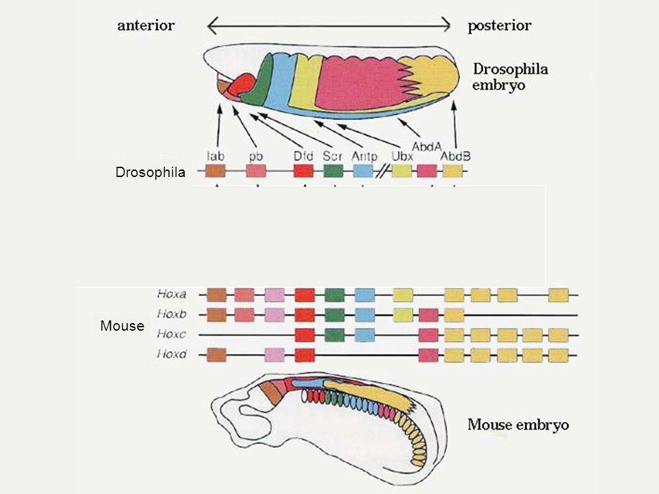 Drosophila Mouse