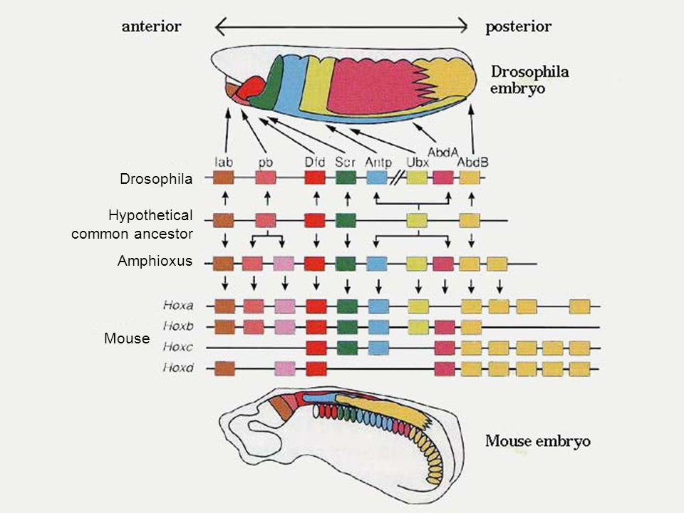 Drosophila Hypothetical common ancestor Amphioxus Mouse