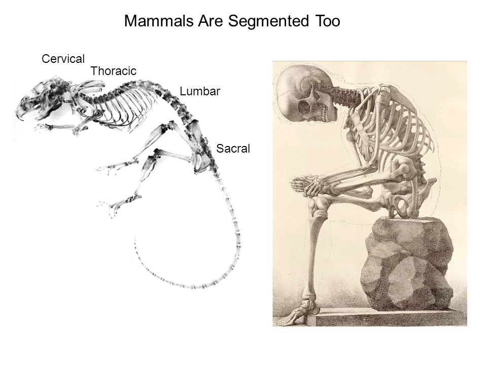 Mammals Are Segmented Too