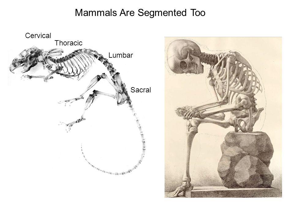Mammals Are Segmented Too