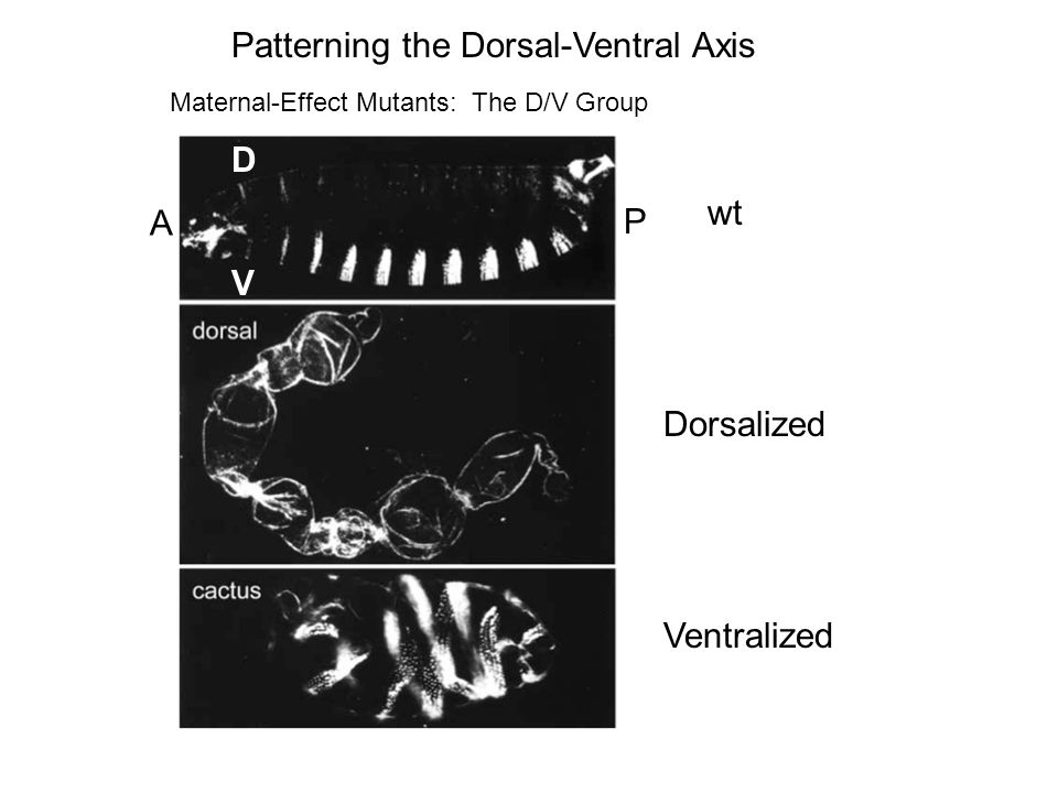 Patterning the Dorsal-Ventral Axis