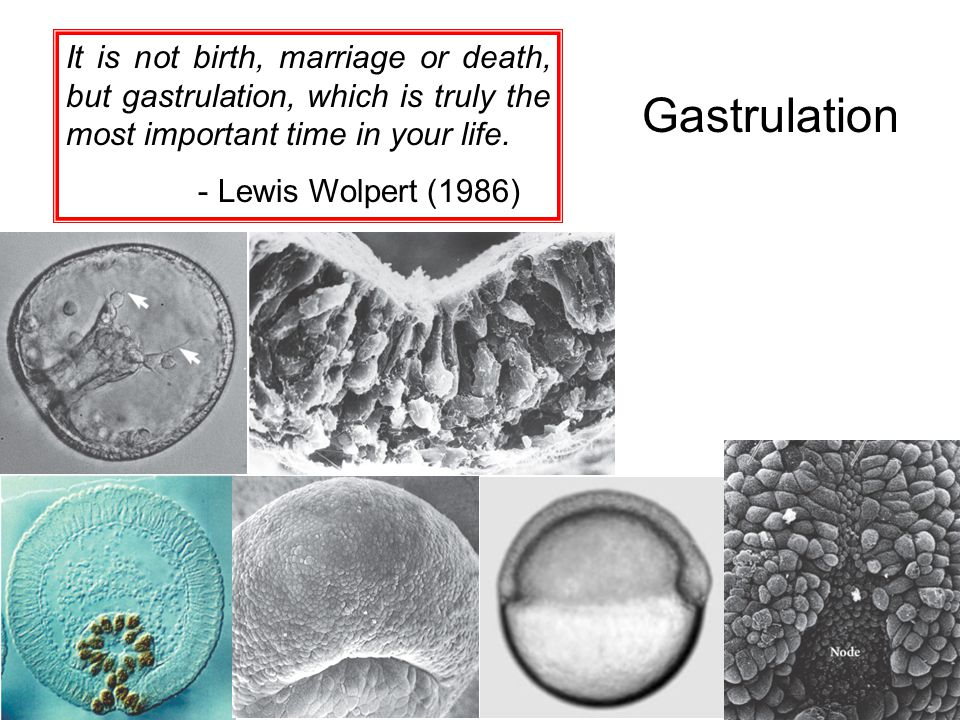 It is not birth, marriage or death, but gastrulation, which is truly the most important time in your life.