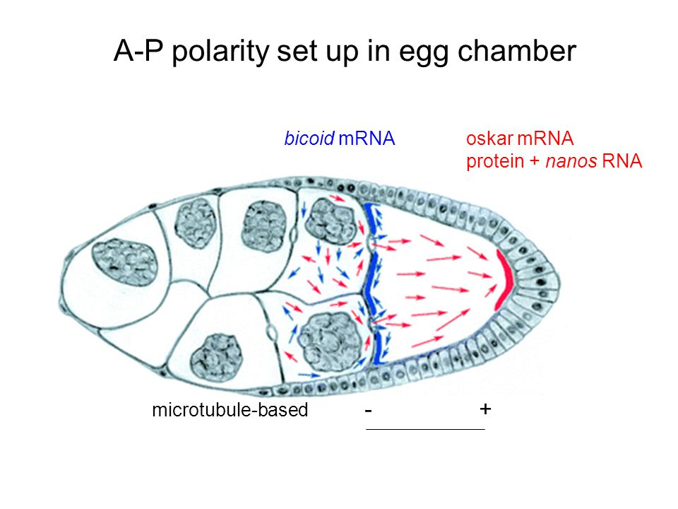 A-P polarity set up in egg chamber
