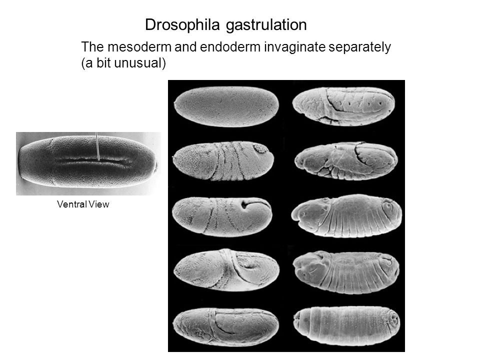 Drosophila gastrulation