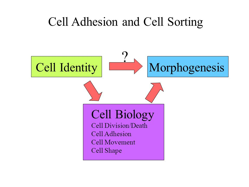 Cell Adhesion and Cell Sorting Cell Identity Morphogenesis