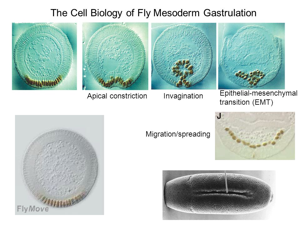 The Cell Biology of Fly Mesoderm Gastrulation