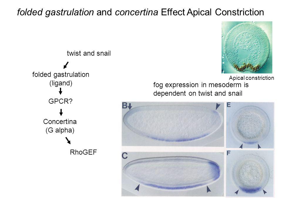 folded gastrulation (ligand)