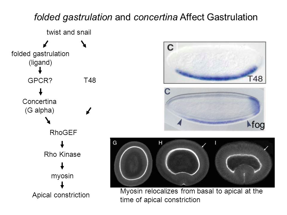 folded gastrulation (ligand)